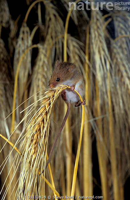 Harvest mouse on barley head {Micromys minutus} UK, CROPS,MAMMAL,SUMMER,RODENT,ENGLAND,SIZE,SMALL,MAMMALS,MICE,SEEDS,CEREAL,RODENTS,EUROPE,BRITISH,MURIDAE, STEVE KNELL