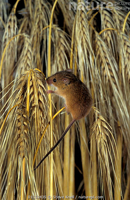 Harvest mouse on barley head {Micromys minutus} UK, MICE,CEREAL,RODENTS,SEEDS,SMALL,CROPS,BRITISH,EUROPE,SUMMER,ENGLAND,SIZE,MAMMALS,MURIDAE, STEVE KNELL