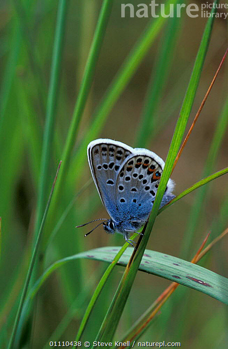 Silver studded blue butterfly, male {Plebejus argus} UK, INVERTEBRATES,ENGLAND,INSECTS,EUROPE,BRITISH,LEPIDOPTERA,BUTTERFLIES,GRASS,INSECT,PLANTS, STEVE KNELL