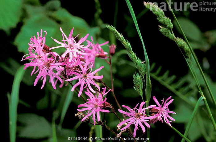 Ragged robin flower {Silene flos-cuculi} UK, CARYOPHYLLACEAE, DICOTYLEDONS, ENGLAND, EUROPE, FLOWERS, HEDGEROWS, PLANTS, PURPLE, STEVE KNELL