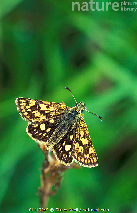 Chequered skipper butterfly {Carterocephalus palaemon} Scotland, UK, LEPIDOPTERA,INSECTS,INVERTEBRATES,EUROPE,BUTTERFLIES,BRITISH,CREWS, STEVE KNELL