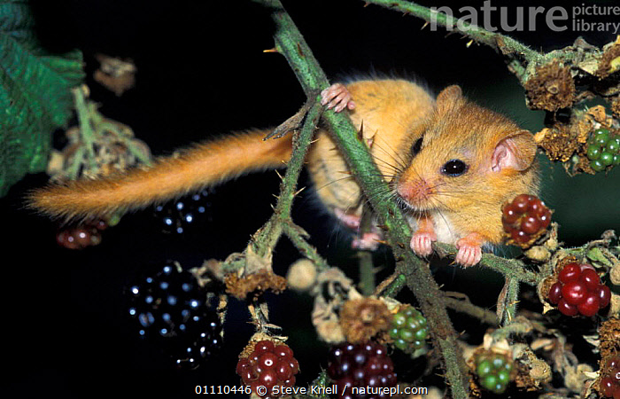 Female Dormouse on blackberries {Muscardinus avellanarius} Kent, UK, BERRIES,BRITISH,MAMMALS,FRUIT,FEEDING,ENGLAND,RODENTS,UK,DORMICE,EUROPE,UNITED KINGDOM,PLANTS,MURIDAE, STEVE KNELL