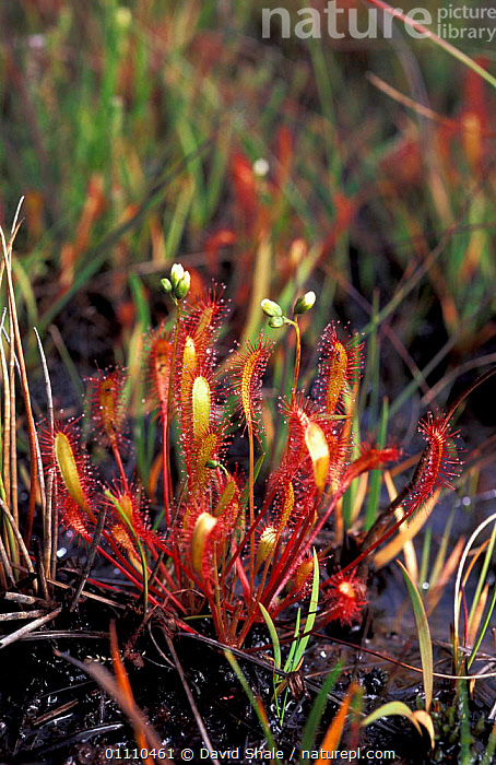 Long leaved sundew plant {Drosera intermedia} Dorset, UK, PLANTS,VERTICAL,WETLANDS,FLOWERS,,BRITISH ,INSECTIVOROUS, David Shale
