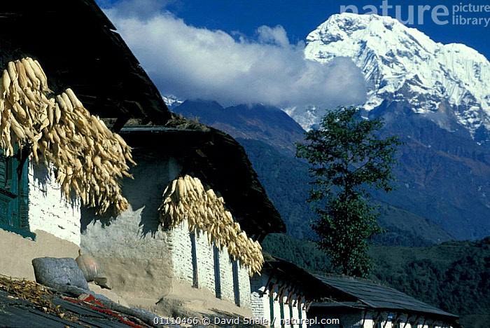 Maize drying under eaves of house, Mt Anapurna, Nepal, DISTRICT,CEREAL,MOUNTAINS,CROPS,LANDSCAPES,HIMALAYAS,SNOW,BUILDINGS,TRADITIONAL,Asia,INDIAN-SUBCONTINENT, David Shale