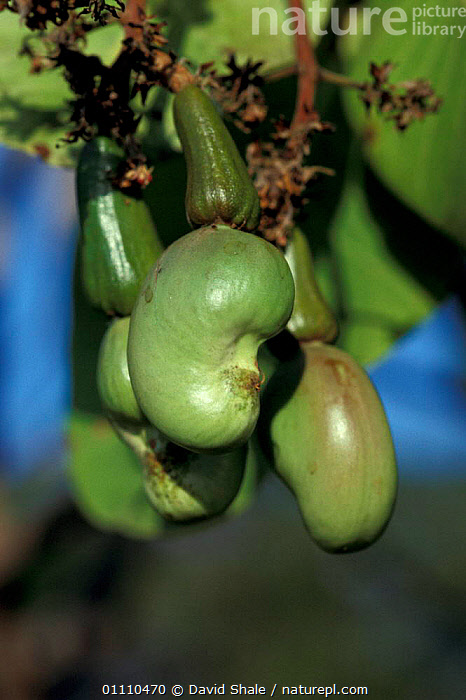 Cashew nuts forming on tree {Anacardium occidentale} Brazil, FRUIT,TREES,NUT,CROPS,SEEDS,SOUTH AMERICA,SOUTH AMERICA,PLANTS, David Shale