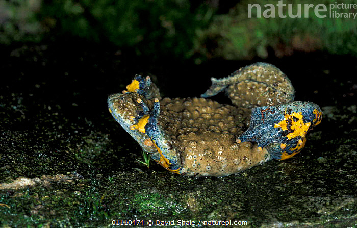 Fire bellied toad, defense posture {Bombina bombina}, TROPICAL RAINFOREST,TOADS,HORIZONTAL,INTERESTING,HUMOROUS,DISPLAY,DEFENSIVE,BEHAVIOUR,AMPHIBIANS,CONCEPTS,COMMUNICATION,ANURA, David Shale