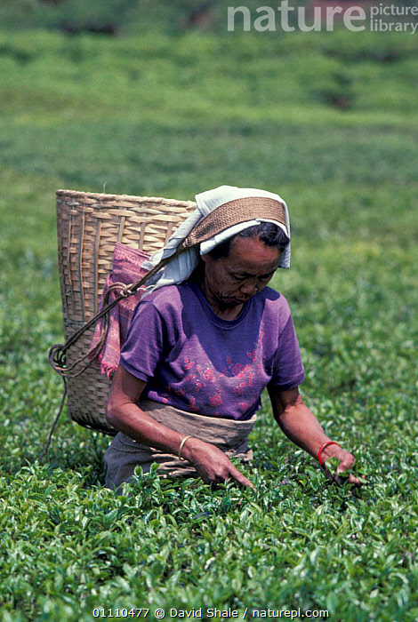 Woman harvesting tea Darjeeling, West Bengal, India, CROPS,LANDSCAPES,PEOPLE,PLANTS,INDIAN SUBCONTINENT,LADY,HARVEST,ASIA,TRADITIONAL,INDIAN-SUBCONTINENT, David Shale