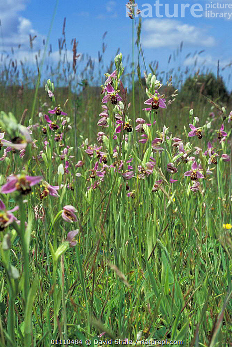 Bee orchids flowering in meadow {Ophrys apifera} Dorset, UK, GROUPS,PLANTS,DOWNLAND,ENGLAND,MEADOWS,BRITISH,EUROPE,GRASS,GRASSLAND,FLOWER,FLOWERS, David Shale
