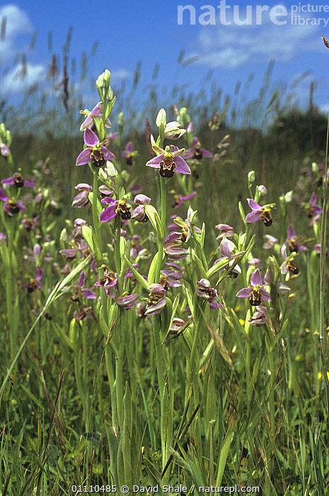 Bee orchids (Ophrys apifera) flowering in meadow, Dorset, England, UK, DOWNLAND,ENGLAND,EUROPE,FLOWERS,GRASSLAND,GROUPS,MONOCOTYLEDONS,ORCHIDACEAE,PLANTS,VERTICAL,United Kingdom, David Shale