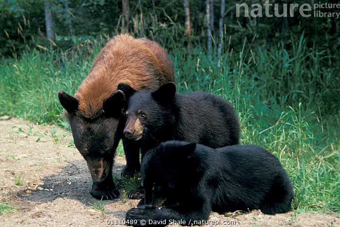 Black bear (cinnamon color form) + cubs {Ursus americanus} Minesota, USA, CINNAMON,CUTE,DIMORPHISM,FORM,BEARS,THREE,MAMMALS,COLOUR,MORPHISM,BROWN,NORTH AMERICA,FAMILIES,BABIES,CARNIVORES,FAMILY, David Shale