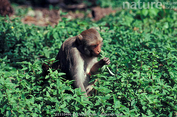Rhesus macaque eating {Macaca mulatta} Cayo Santiago, Puerto Rico, BEHAVIOUR,VEGETATION,PRIMATES,CARIBBEAN,MAMMALS,FEEDING,MACAQUES,MONKEYS,West Indies, David Shale