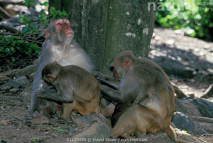 Rhesus macaques grooming {Macaca mulatta} Cayo Santiago, Puerto Rico, PRIMATES,FAMILY,BEHAVIOUR,PUERTORICO,MAMMALS,YOUNG,BABIES,FAMILIES,CARIBBEAN,SOCIAL,MONKEYS,West Indies, David Shale