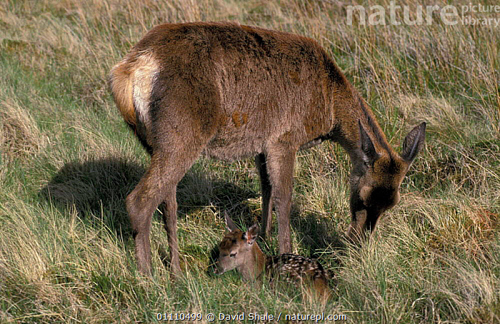 Red deer hind with newborn fawn {Cervus elaphus} Scotland, UK, CUTE,EUROPE,FAMILY,YOUNG,BRITISH,MAMMAL,ARTIODACTYLA,BABIES,FAMILIES,MAMMALS, David Shale