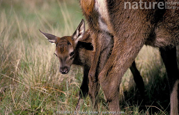 Red deer hind with newborn fawn {Cervus elaphus} Scotland, UK, BRITISH,YOUNG,MAMMAL,FAMILY,ARTIODACTYLA,EUROPE,MAMMALS,FAMILIES,CUTE,BABIES, David Shale