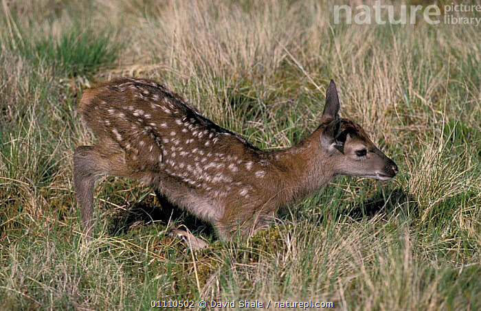 Red deer fawn, first steps {Cervus elaphus} Scotland, UK, STANDING,ACTION,BABIES,CUTE,MAMMALS,NEWBORN,WALKING,BEHAVIOUR,MAMMAL,ARTIODACTYLA,LEARNING,BRITISH,EUROPE,YOUNG, David Shale