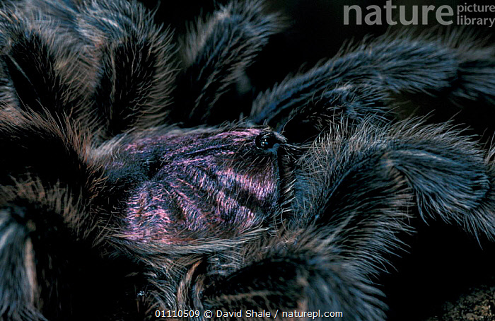 Chilean rose tarantula, close-up {Grammostola spatulatus}, ARACHNIDS,BIG,CAPTIVE,CLOSE UPS,HAIRY,HORIZONTAL,INVERTEBRATES,SPIDERS,SPATULATUS,UK,SOUTH AMERICA,SIZE,EUROPE,UNITED KINGDOM,BRITISH, David Shale