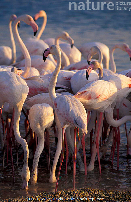 Greater flamingoes feeding {Phoenicopterus ruber} Khor Dubai, United Arab Emirates, FLOCKS,WETLANDS,UAE,WADING,BIRDS,FLAMINGOS,ARABIA,GROUPS,WADERS,WATER, David Shale