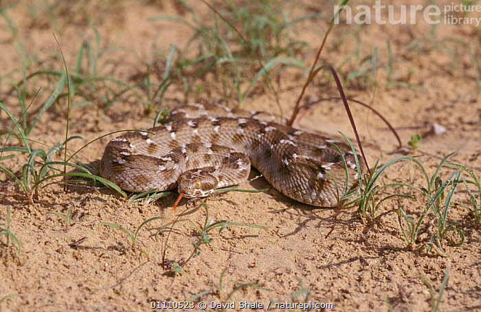 Saw scaled viper {Echis carinatus} United Arab Emirates, UAE,ARABIA,REPTILES,SNAKES,VIPERS,DESERTS,DESERT,SAND,REPTILE, VIPERS, David Shale