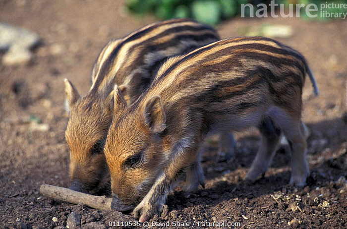 Wild boar piglets {Sus scrofa} captive, UK, EUROPE,OXFORDSHIRE,ARTIODACTYLA,ENGLAND,MAMMAL,MAMMALS,PAIR,PIGS,BABIES,TWO, David Shale