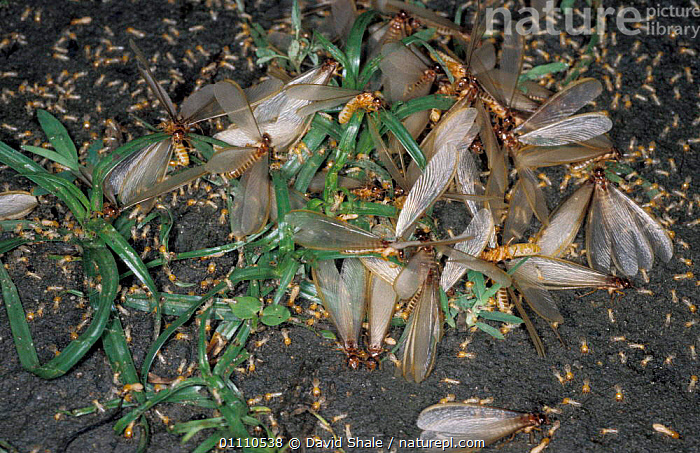 Winged termites emerging from nest {Isoptera} Tamil Nadu, India, ASIA,BEHAVIOUR,DISPERSAL,GROUPS,INDIA,INDIAN SUBCONTINENT,INSECTS,INVERTEBRATES,MASS,PESTS,REPRODUCTION,WINGS,Isoptera, David Shale