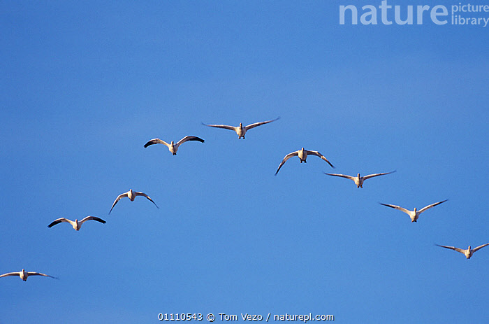 Snow geese {Chen caerulescens} flying in formation, Bosque del Apache, New Mexico, USA., BIRDS, FLYING, GEESE, GROUPS, LOW-ANGLE-SHOT, PATTERNS, SKY, USA, VERTEBRATES, WATERFOWL, WINGS,North America, Tom Vezo