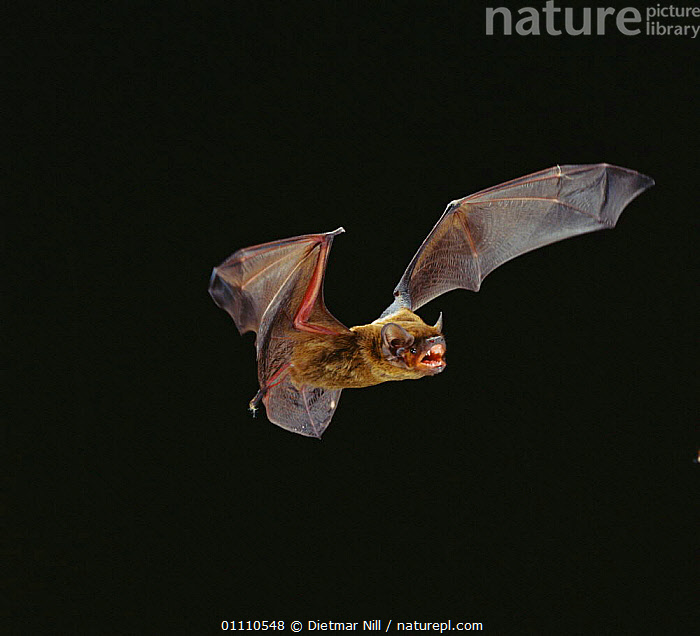 Leisler's bat flying {Nyctalus leisleri} Germany, MAMMALS,BATS,LEISLER,CHIROPTERA,NIGHT,EUROPE,Catalogue1, Dietmar Nill