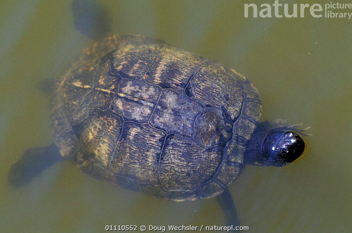 Yellow bellied turtle, male {Chrysemys scripta} Pea Is NWR, North Carolina, USA, CHELONIA, FRESHWATER, MALES, POND-TURTLES, REPTILES, RESERVE, SURFACE, TURTLES, VERTEBRATES, WATER,North America, Doug Wechsler