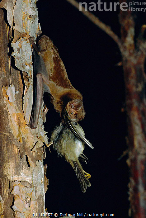Greater noctule bat feeding on bird {Nyctalus lasiopterus} Greece, BEHAVIOUR,PREDATION,CHIROPTERA,MAMMALS,VERTICAL,BATS,EUROPE,NIGHT, Dietmar Nill
