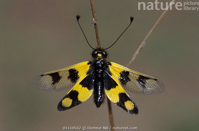 Owlfly {Libelloides libelluloides} Germany, EUROPE,ASCALAPHIDS,HORIZONTAL,INSECTS,YELLOW,INVERTEBRATES,NEUROPTERA,, Dietmar Nill