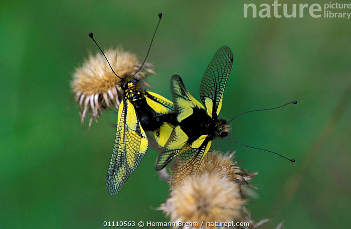Owlflies mating {Libelloides libelluloides} Germany, THISTLE,REPRODUCTION,INSECTS,HORIZONTAL,PAIR,MALE FEMALE PAIR,MATING BEHAVIOUR,EUROPE,COUPLE,INVERTEBRATES,ASCALAPHIDS,NEUROPTERA, Hermann Brehm