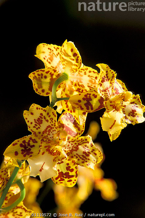 Tropical orchid flower {Odontocidium sp} China, Indonesia, PLANTS,SP,VERTICAL,YELLOW,FLOWERS,ORCHIDS,B,ASIA, Jose B. Ruiz