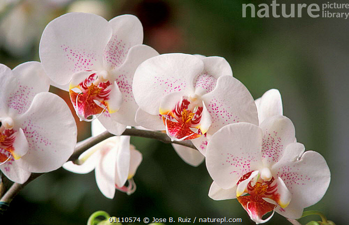 Tropical orchid flower {Phalaenopsis sp} Philippines, Borneo, Sumatra, PINK,PLANTS,SP,WHITE,FLOWERS,HORIZONTAL,ORCHIDS,B,ASIA, Jose B. Ruiz