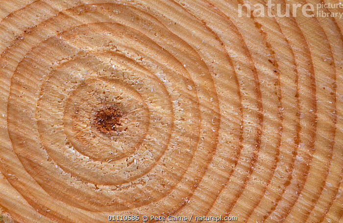 Growth rings in trunk of Spruce tree {Picea sp} Norway, TREES,SP,VERTICAL,TRUNKS,SCANDINAVIA,FORESTRY,HORIZONTAL,AGE,CONIFEROUS,CIRCLES,EUROPE,PLANTS, Pete Cairns