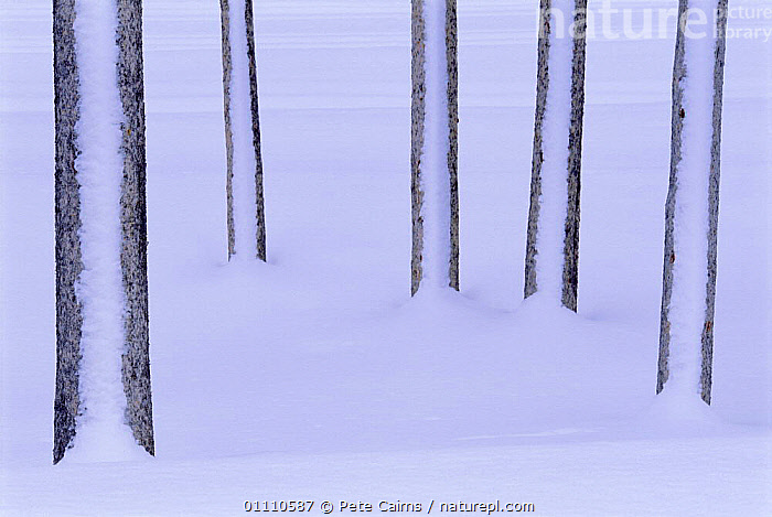 Five Lodgepole pine tree trunks in snow abstract, Yellowstone NP, Wyoming, USA, WINTER,RESERVE,CLAD,North America, Pete Cairns