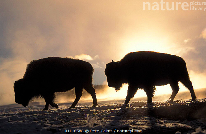 Two Bison silhouetted against rising sun {Bison bison} Yellowstone NP, Wyoming, USA, COLD,DAWN,ARTIODACTYLA,BUFFALOS,HORIZONTAL,PAIR,NORTH,AMERICA,MAMMALS,RESERVE,SILHOUETTES,WINTER,SUNRISE,CATTLE,North America, Pete Cairns