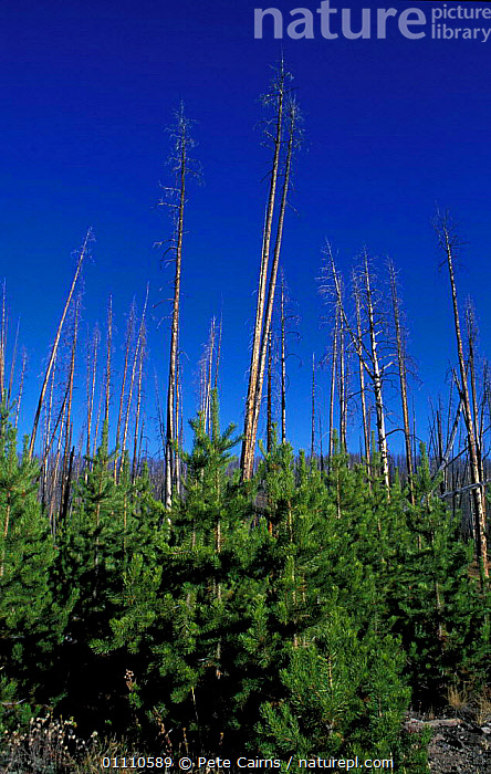 Dead Lodgepole pines showing regeneration after fire {Pinus contorta} Yellowstone, Wyoming,, VERTICAL,TRUNKS,USA,RESERVE,PLANTS,NORTH,AMERICA,GROWTH,CONIFEROUS,NORTH AMERICA,CONCEPTS, Pete Cairns