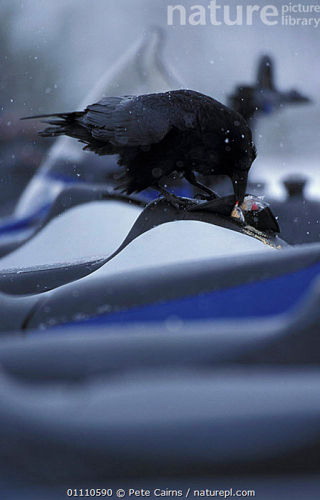 Common raven {Corvus corax} undoing zip to steal food. Yellowstone NP, Wyoming, USA, BEHAVIOUR,BIRDS,INTERESTING,FOOD,FEEDING,NORTH,AMERICA,RESERVE,RAVENS,VERTICAL,STEALING,THEFT,CORVIDS,North America, Pete Cairns