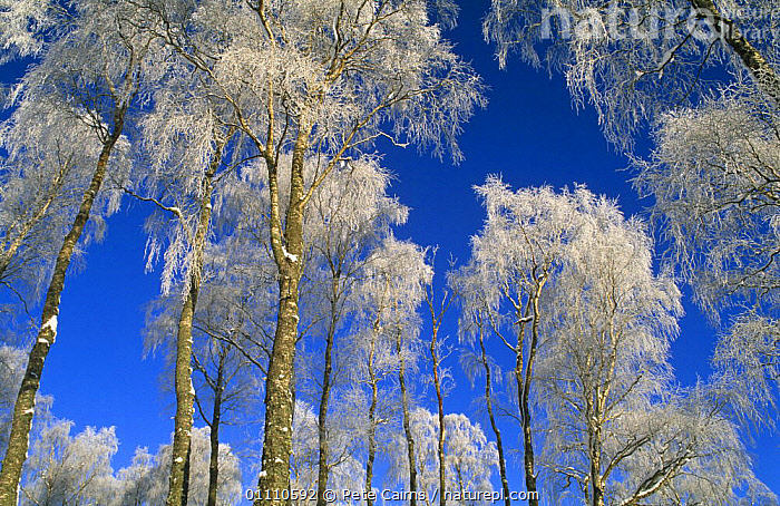 Silver birch trees coated in hoar frost {Betula verrucosa} Strathspey, Scotland, UK, ABSTRACT,BETULACEAE,BROADLEAF,CANOPY,DICOTYLEDONS,EUROPE,PLANTS,SKY,TRUNKS,WINTER, United Kingdom, Pete Cairns