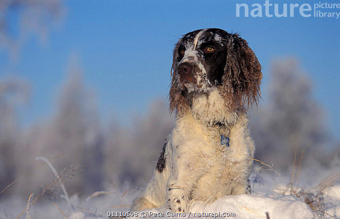 Springer spaniel dog covered in snow {Canis familiaris} Scotland, UK, EUROPE,DOGS,CARNIVORES,HORIZONTAL,MAMMALS,WINTER,PETS,CANIDS, United Kingdom, Pete Cairns