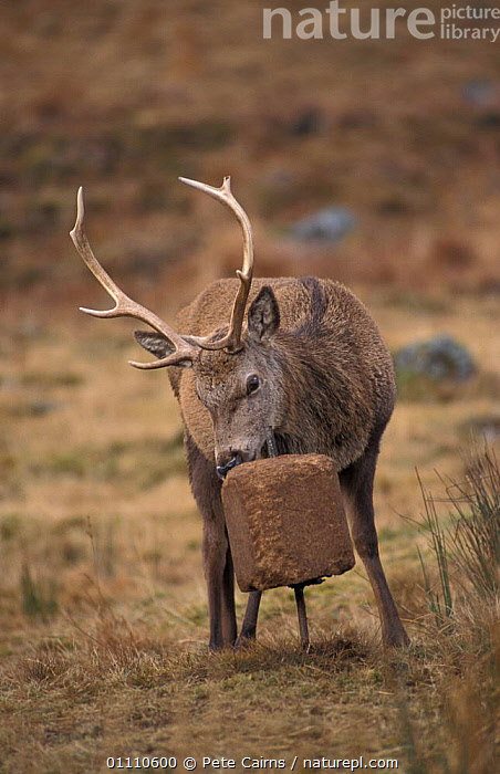 Red deer stag licking mineral block {Cervus elaphus} Scotland, UK. blocks put out by estate to, EUROPE,CONDITION,ARTIODACTYLA,BRITISH,BEHAVIOUR,FEEDING,MAMMALS,MAINTAIN,MINERALS,WINTER,UK,VERTICAL,STRATHSPEY,UNITED KINGDOM, United Kingdom, Pete Cairns