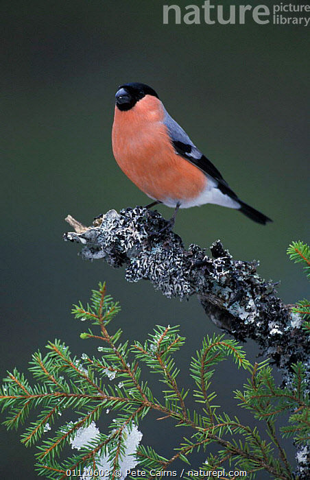 Bullfinch male perched {Pyrrhula pyrrhula} Norway, EUROPE,CONIFEROUS,BIRDS,MALES,LICHEN,FINCHES,PORTRAITS,SCANDINAVIA,VERTICAL, Pete Cairns