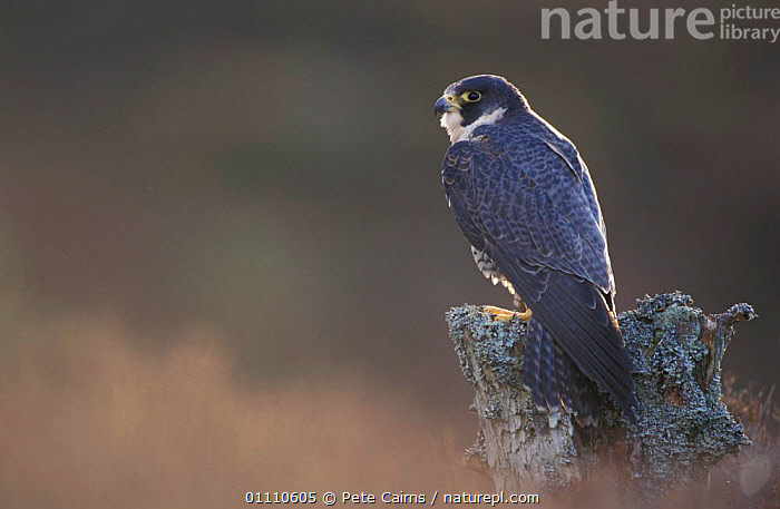Peregrine falcon {Falco peregrinus} Scotland, UK, EUROPE,CAPTIVE,BIRDS,BRITISH,,FALCONS,HORIZONTAL,VERTICAL ,BIRDS OF PREY, United Kingdom, Pete Cairns
