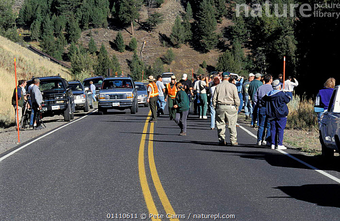 Traffic parked on road side as tourists view a 'bear sighting' Yellowstone NP, Wyoming, USA, CROWDS,ROADS,LANDSCAPES,PROBLEMS,TOURISM,NATIONAL PARK,NORTH AMERICA,PEOPLE,RESERVE,USA, Pete Cairns