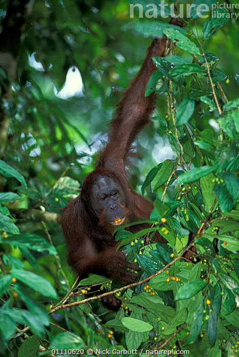 Wild male Orang utan feeding in canopy {Pongo pygmaeus} Danum valley, Sabah, Borneo, ARBOREAL,BEHAVIOUR,TROPICAL RAINFOREST,ASIA,FIGS,MAMMAL,MALES,PRIMATES,MAMMALS,BRACHIATION,FRUIT,PLANTS, Nick Garbutt