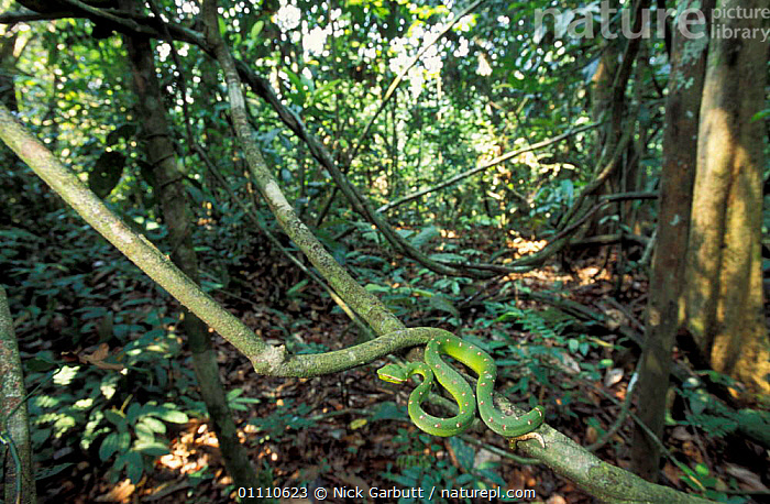 Temple / Wagler's pit viper sunning {Tropidolaemus wagleri} Kinabatangan, Sabah, Borneo, WAGLER,CAMOUFLAGE,REPTILE,BEHAVIOUR,HABITAT,REPTILES,VIPERS,SNAKES,SOUTH EAST ASIA,THERMOREGULATION,ASIA,GREEN,SUN,TROPICAL RAINFOREST, Nick Garbutt