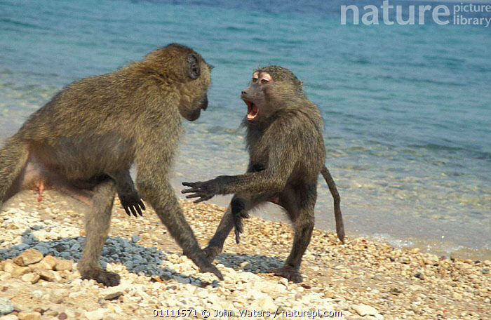 Olive baboon juveniles play fighting on beach {Papio anubis} Tanzania, BABOONS,BEACHES,BEHAVIOUR,MAMMALS,PRIMATES,MALES,TWO,MONKEYS, John Waters