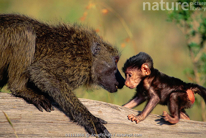 Olive baboon adult sniffing baby.  ,  BABOONS,BABY,CUTE,HORIZONTAL,INTERACTION,INTIMATE,MAMMALS,PRIMATES,SHAH,SNIFFING,TOGETHER,TOUCHING,MONKEYS  ,  Anup Shah