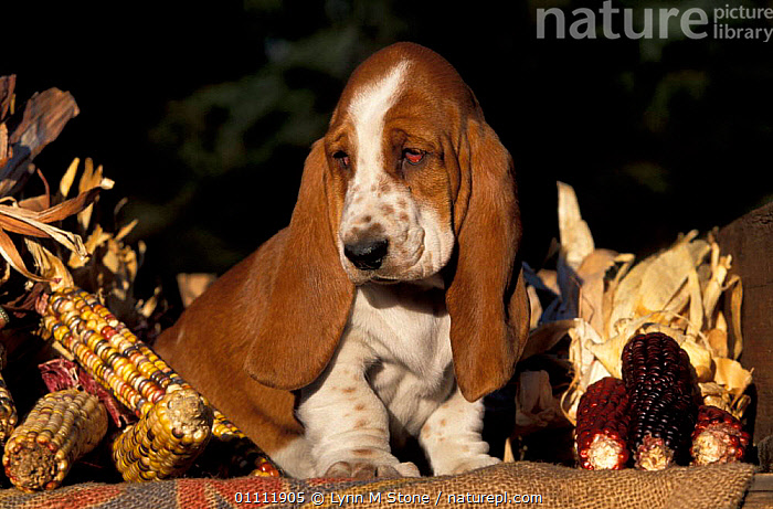 Basset hound puppy {Canis familiaris}  ,  BABIES,CROPS,DOGS,BREEDS,CARNIVORES,CORN,PEDIGREE,PETS,MAMMALS,PET,CANIDS  ,  Lynn M Stone