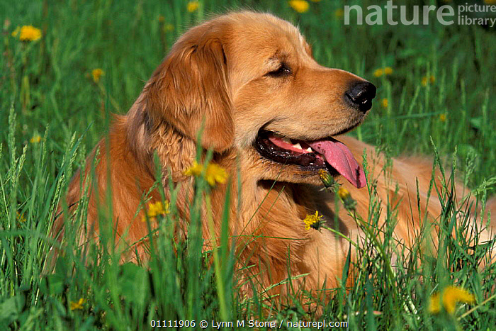 Golden retriever lieing in grass{Canis familiaris} USA  ,  DOGS,BABIES,MAMMALS,PET,PETS,RESTING,CARNIVORES,CANIDS  ,  Lynn M Stone