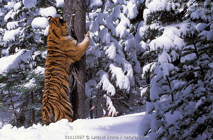 Siberian tiger sharpening claws on tree trunk in snow {Panthera tigris altaica} captive  ,  CARNIVORES,CONIFER,TIGERS,BEHAVIOUR,BIG CATS,CONIFEROUS,MAMMALS,TREES,PLANTS  ,  Lynn M Stone